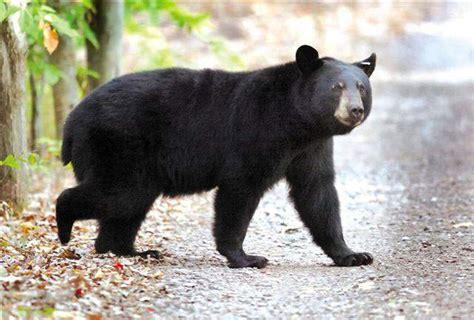 bear hunting  pa      hunting
