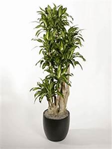 Customer Service Qualifications Dracaena Uprights Plantopia Interior Plant Service