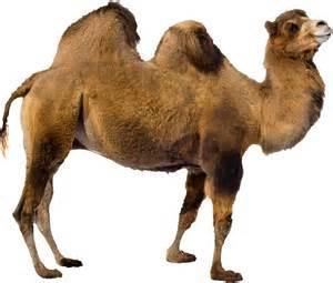 Camel transparent background animal image