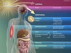 Endocannabinoid System  Ecs