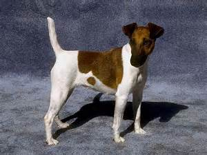 Smooth Fox Terrier Dog Breed
