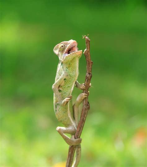 Iespaidīgs tuvplāns: hameleons ar lipīgu mēli noķer un ...