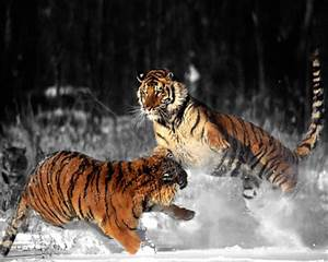 Wild Tiger Black and white photography with Color | Black ...