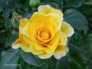 Bilder Blumen Kostenlos Downloaden : kostenlose rosenfotos kostenlose rosenbilder fotos mit gelben rosen wildrosen gratis ~ Frokenaadalensverden.com Haus und Dekorationen