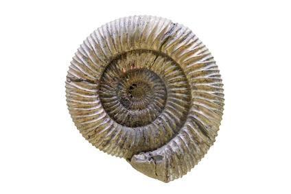 voir des modeles de cuisine ammonite les ammonites sont les fossiles les plus courants pratique fr