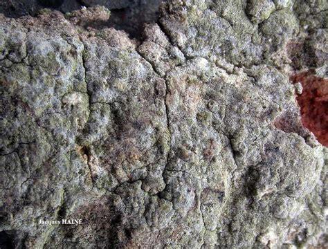 Lichens marins