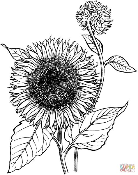 blooming sunflower coloring page  printable coloring