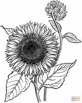 Sunflower Coloring Pages sketch template