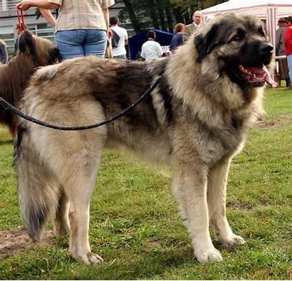 Sarplaninac Dog šar Shepherd Names