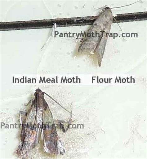 Cycle Of A Pantry Moth Pantry Moths Picture Bug O Phobia