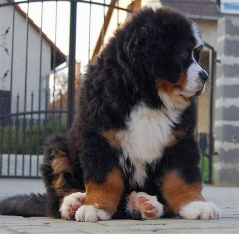 The 25 Best Fluffy Dogs Ideas On Pinterest Cute Fluffy