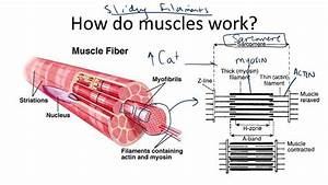 How Muscles Work  The Sliding Filament Theory