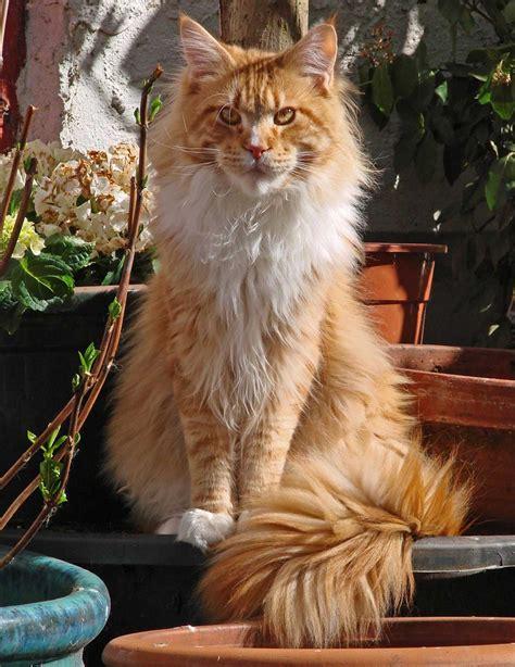 gatto da appartamento razza il gatto maine coon non prenderlo 232 terribile