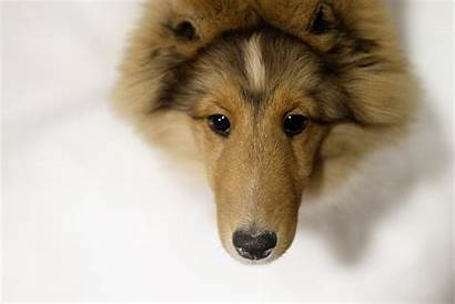 Sheltie Dog Breed Dogs Wallpapers Closeup Oh