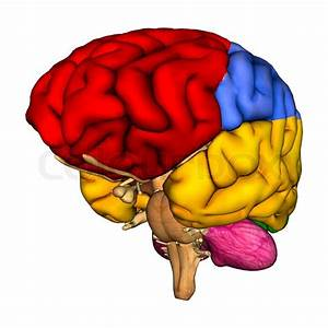 3d Digital Render Of A Human Brain Diagram Isolated On