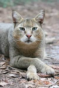Cats La : best 25 chausie cat ideas on pinterest rare cat breeds cat hybrids and pretty cats ~ Orissabook.com Haus und Dekorationen