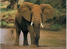 National Animal Of Cote d'Ivoire Elephant 123Countriescom