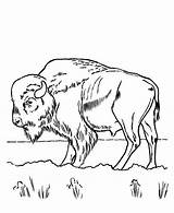 Bison Coloring Grass Printable Eating Drawings sketch template