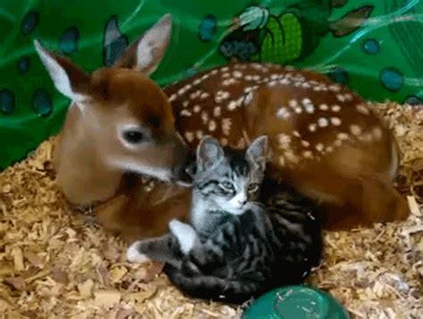 le canapé gif sur yvette chaton léché par une biche petit photos de chats