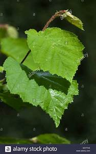 Hazelnut Leaves Stock Photos & Hazelnut Leaves Stock