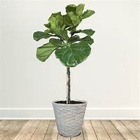 fiddle fig tree Fiddle-Leaf Fig Tree for Sale | Fast-Growing-Trees.com