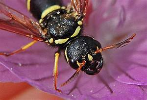 Wie Vertreibe Ich Wespen : naturspaziergang wissenswertes ber wespen vorwort zu ~ Orissabook.com Haus und Dekorationen