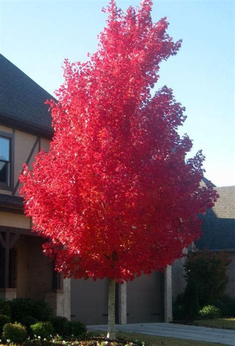 shade tree   week october glory red maple