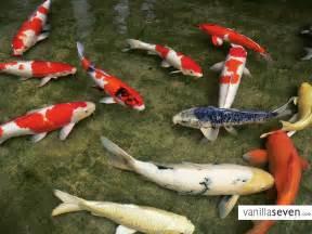 koi fish pond polandia g day bidet