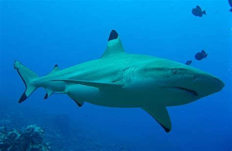 wildlife group buys exclusive license  shark fishing