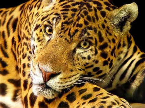 How Are Jaguars Endangered by Endangered Us Jaguars Catch A Will Get Their Own