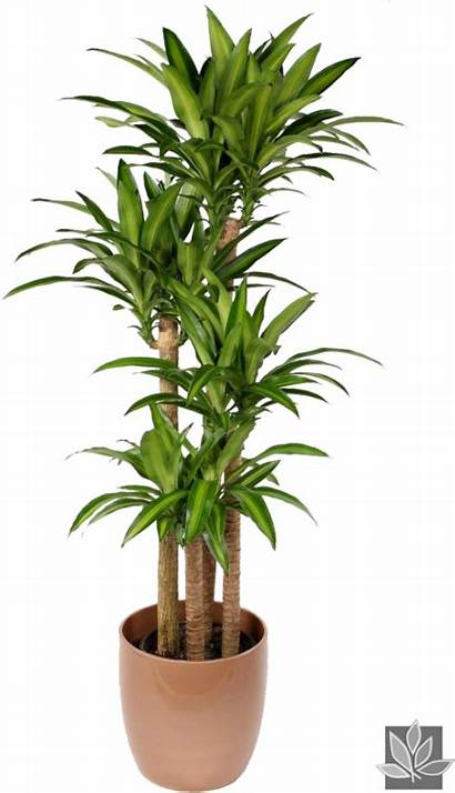 Dracaena Plant Indoor Clipart Pikpng