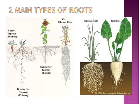 Log What Are The Functions Of Roots List The 2 Main Types