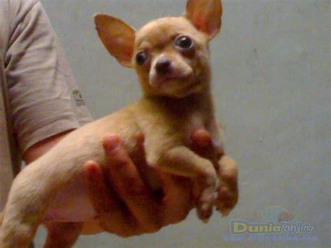 dunia anjing jual anjing chihuahua coklat  belang sapi
