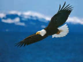 Image result for American bald eagl
