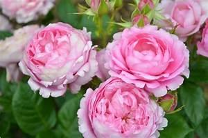 Plantes Vivaces Autour D Un Bassin : rosiers plantes vivaces et pourquoi pas un bassin roseraie guillot ~ Melissatoandfro.com Idées de Décoration