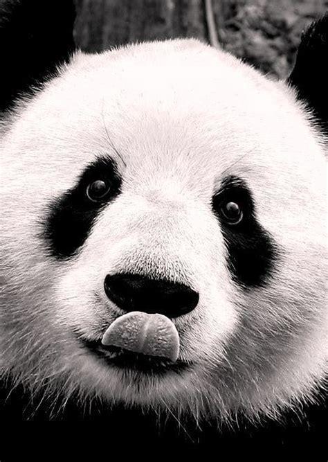 afbeelding bloemen met dier ansichtkaart gefotografeerde panda in zwart wit
