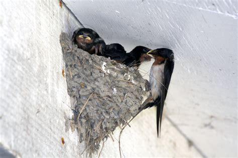 goodbye swallow mud nests bird b gone inc