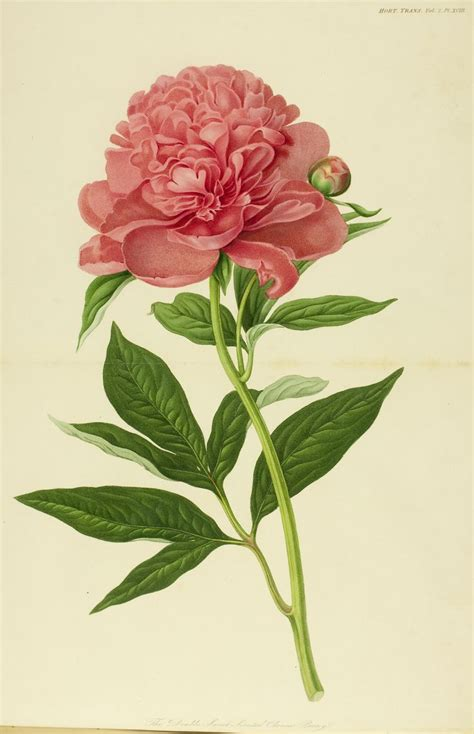 botany flowers 78 best ideas about botanical drawings on pinterest botanical illustration vintage botanical
