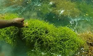 The comprehensive guide to marine algae - Warehouse Aquatics
