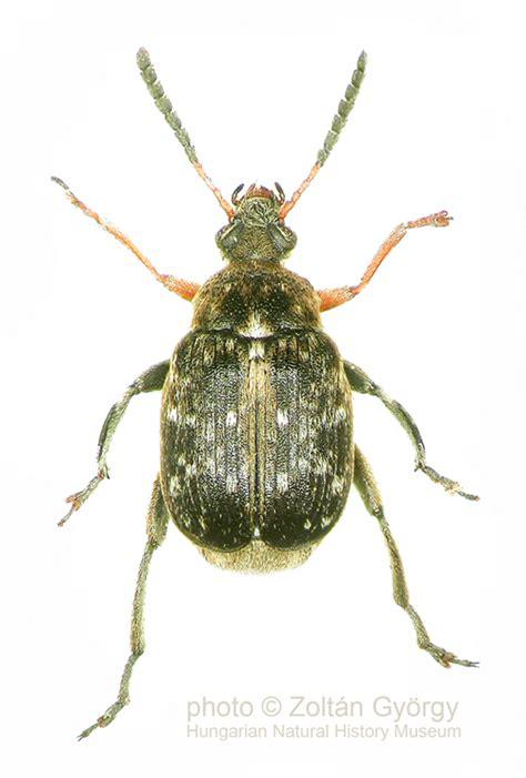 http://bruchiteam.nhmus.hu/seed_beetles.html