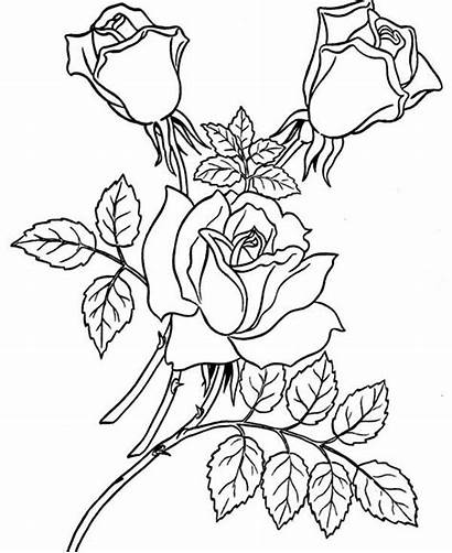 Coloring Rose Three Pages Roses