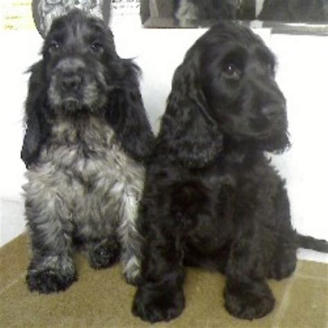Cacheler Spaniels In Dunstable Bedfordshire