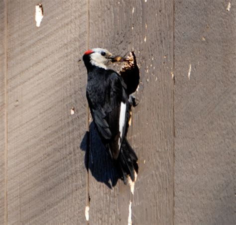 keep birds from attacking the siding or your home
