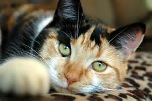calico cat calico information health pictures pet paw