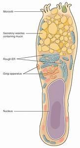 Epithelial Tissue  U00b7 Anatomy And Physiology