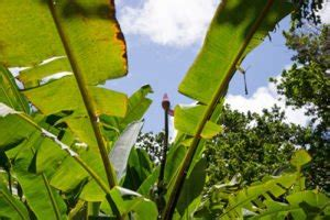 hortensien blätter werden braun zierbanane bekommt braune bl 228 tter ursachen