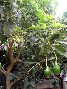 Baum Fällen Kosten Forum : avocadobaum in deutschland tropenland forum avocadobaum ~ Jslefanu.com Haus und Dekorationen