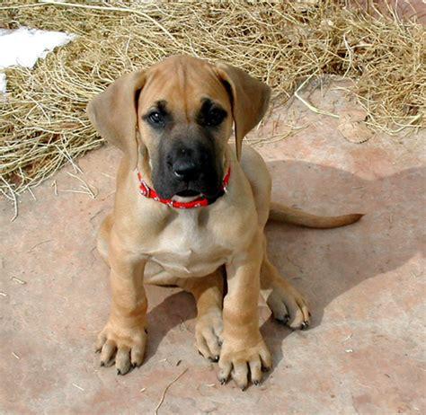 Fileoola The Great Dane Puppy Jpg Wikimedia Commons