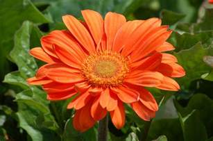 home staging interior design gerbera flowers tender perennial in many colors
