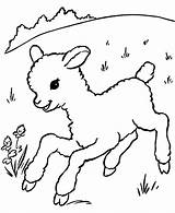 Coloring Lamb Sheep Popular Printable sketch template